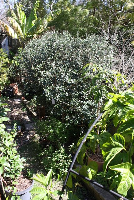 Sydney Garden Trail - Sarahs edible food forest in Naremburn