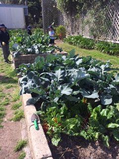 Sydney Edible Garden Trail - Lane Cove West Public School edible garden