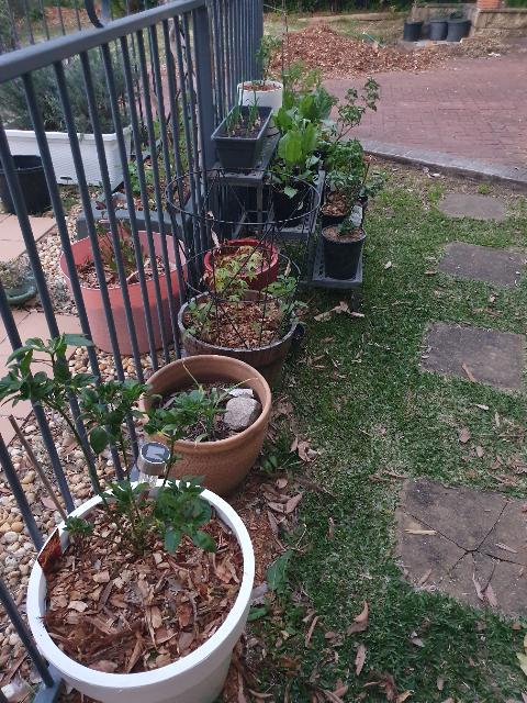 Sydney Edible Garden Trail - growing edibles in pots