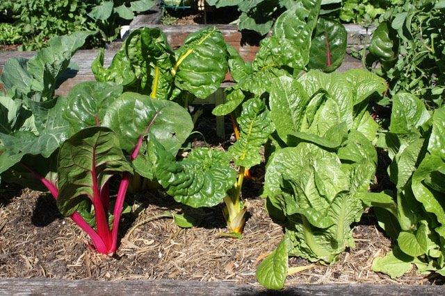 Sydney Edible Garden Trail - silver beet growing in the Naremburn community garden