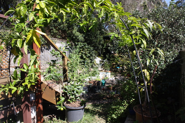 Sydney Edible Garden Trail - vegetable gardens growing in Naremburn