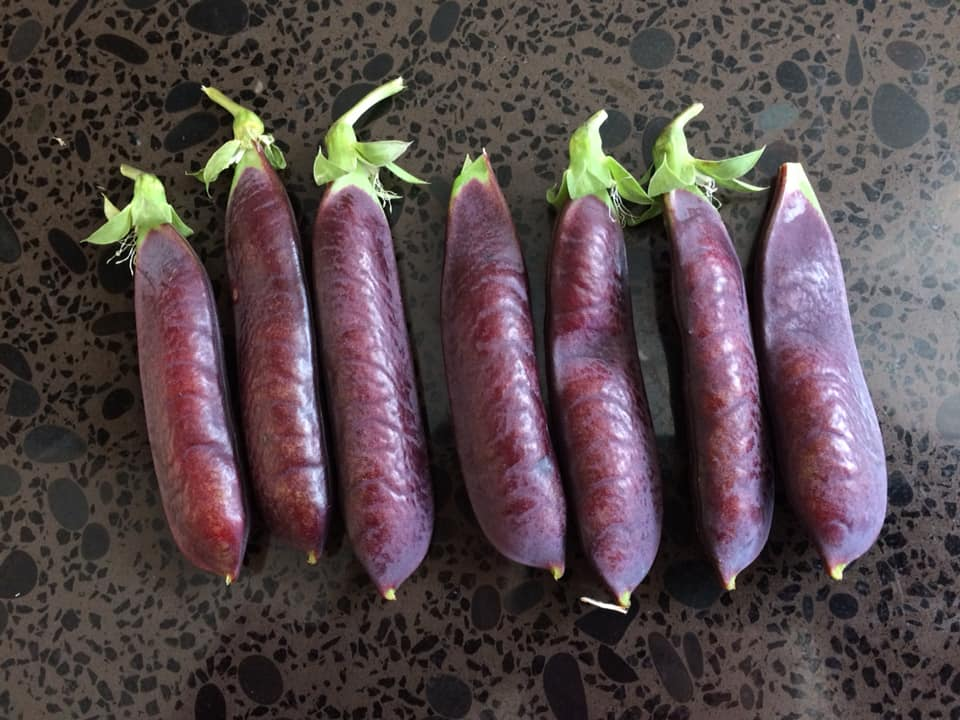 Sydney Edible Garden Trail - purple podded peas