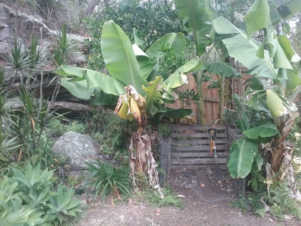 Sydney Edible Garden Trail - bananas