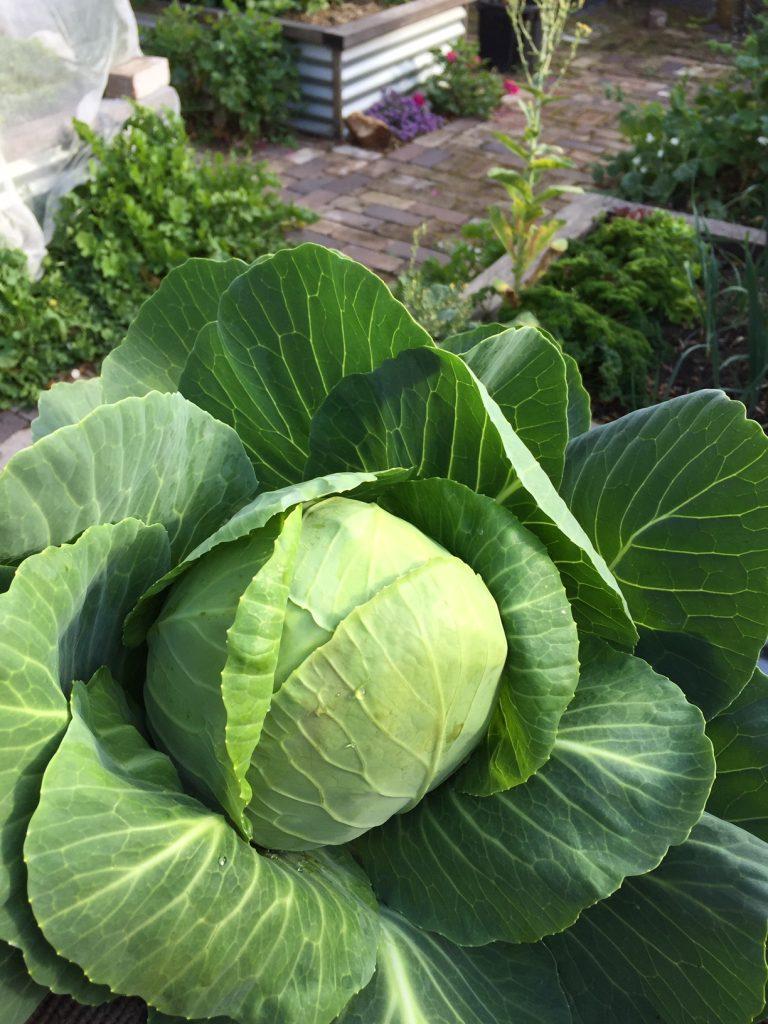Sydney Edible Garden Trail - cabbage