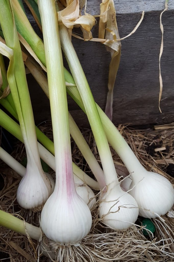 Sydney Edible Garden Trail - garlic