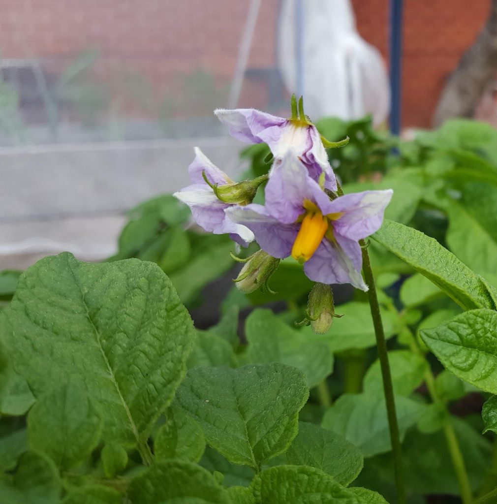 Sydney Edible Garden Trail - potato flower