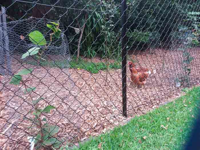 Sydney Edible Garden Trail - chickens