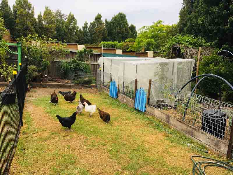 Sydney Edible Garden Trail - chickens