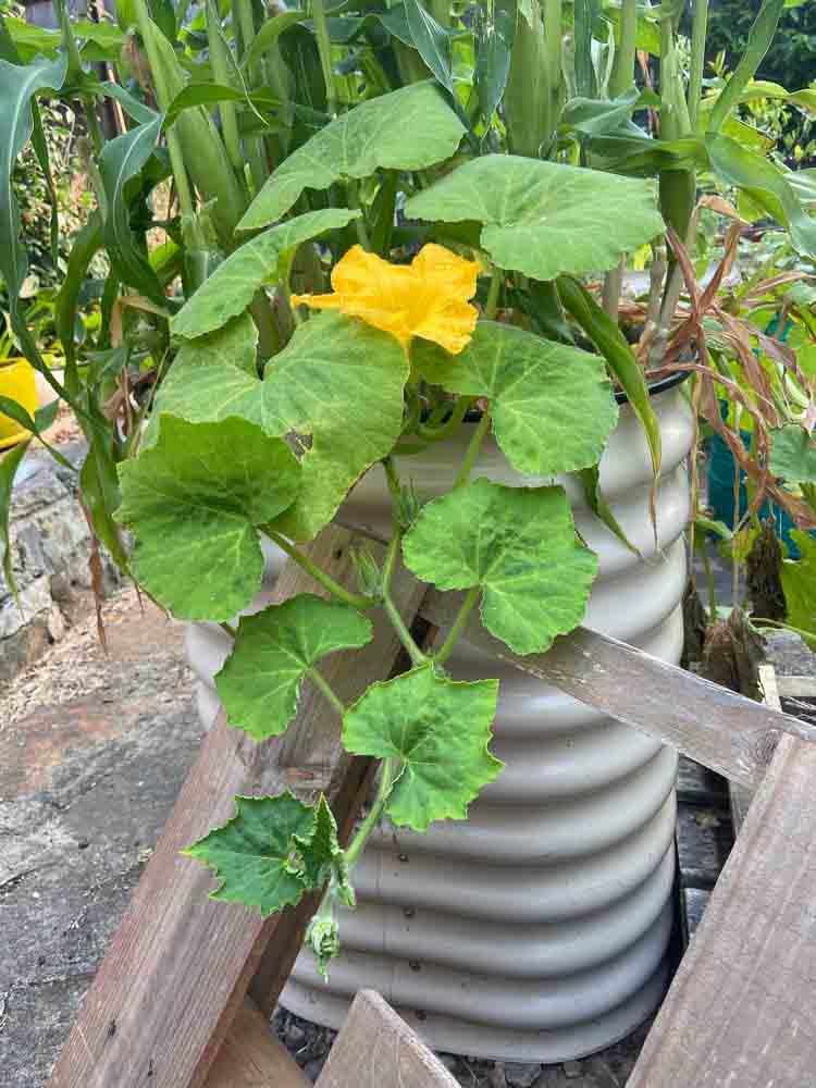 Sydney Edible Garden Trail - pumpkin vine