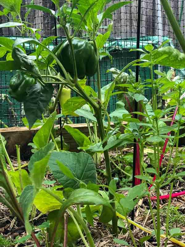 Sydney Edible Garden Trail - capsicum plant