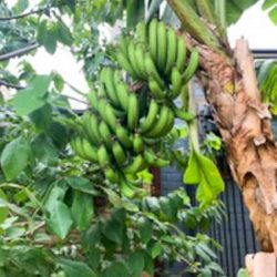 Sydney Edible Garden Trail - bananas